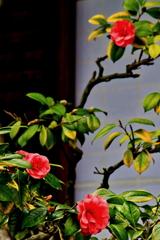 須磨寺の椿