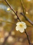 近所の公園に咲く白梅