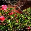 毘沙門堂に咲く山茶花