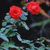 師走の冬薔薇
