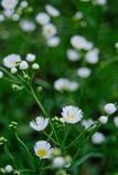 散歩で見かけた可憐な白花