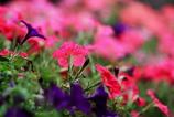 夕陽に輝く夏の花