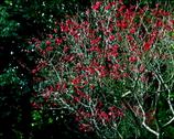 紅梅の輝き