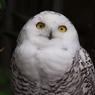 魅惑のシロフクロウ