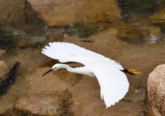 優美なコサギの飛翔