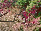 岡本梅林公園に紅梅咲く