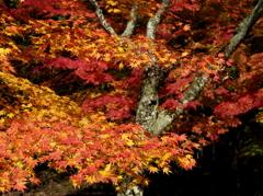 鶏足寺へ続く参道を飾る秋錦