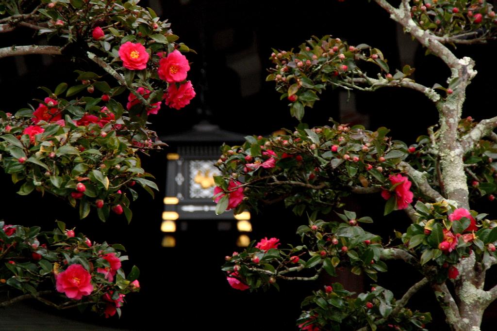 大神神社に咲くお正月の山茶花