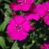ナデシコ(ダイアンサス)赤紫