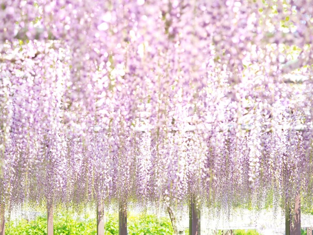 紫の春カーテン*̣̩⋆̩*