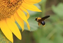 クマバチのホバリング