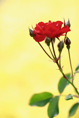 赤と黄のバラード