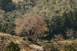 谷底の一本桜