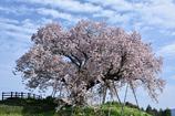 喜びの百年桜。
