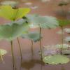 雨上がりのハス園