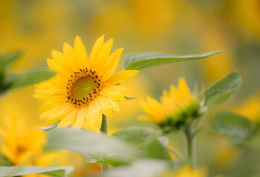 雨中向日葵