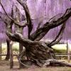 咲き誇る老木。