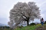 満開の山桜はスマホで。。。