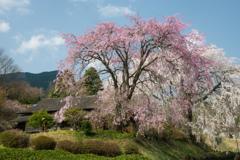 青空と共演する紅白しだれ桜