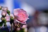 五月の誕生花。。。ピンクのバラ。