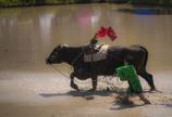 逃げる牛!