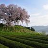 茶畑に咲いた春。