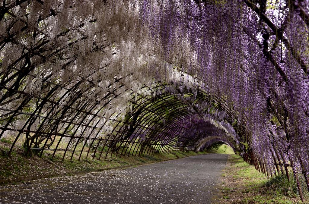 もうひとつの藤のトンネル。