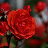花言葉は愛情・情熱・美・あなたを愛します。。。