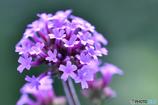 ただ今マクロに夢中です。庭の花編