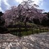 桜の影を愛でるひととき