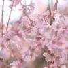 桜の季節が始まりました。。。