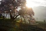 早朝の茶畑にて。。。