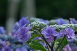 紫陽花の季節が幕開け!