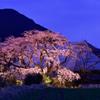 春の宵のヒメシダレ