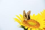 ひまわりと蝶