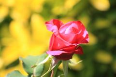 バラが一輪だけ咲いていました