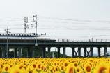 新幹線とひまわり