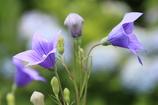 桔梗の里の花1