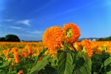 地に咲く太陽