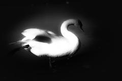 白鳥のポーズ