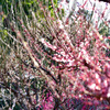 かがやく春_鶴見の梅