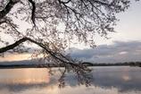 日の出前、桜