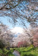 4月末の桜
