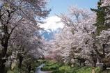 新名庄川、桜並木