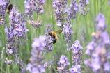 ハチとラベンダー