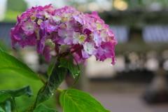 雨上がりの紫陽花③