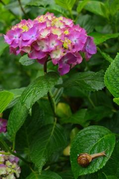 雨上がりの紫陽花⑤