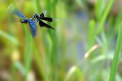 蝶蜻蛉(カップル) (1)