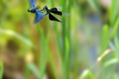 蝶蜻蛉(カップル) (2)