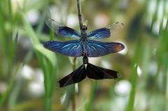 蝶蜻蛉(カップル) (4)